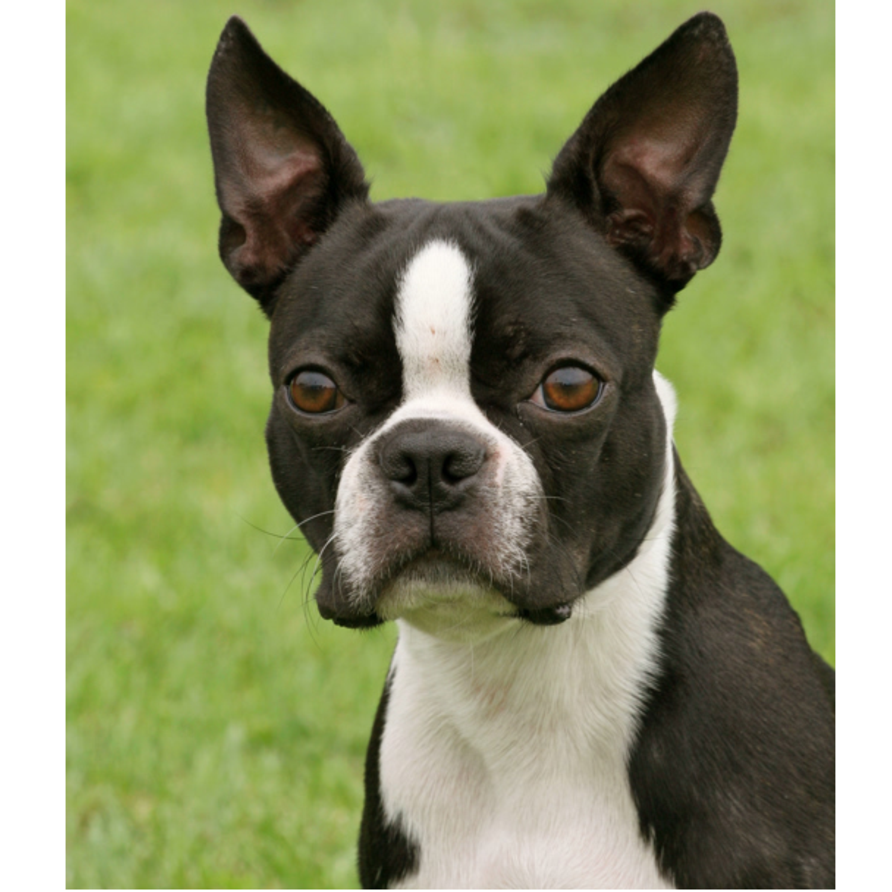 Matthew B. Stoltzfus dog breeder boston terrier